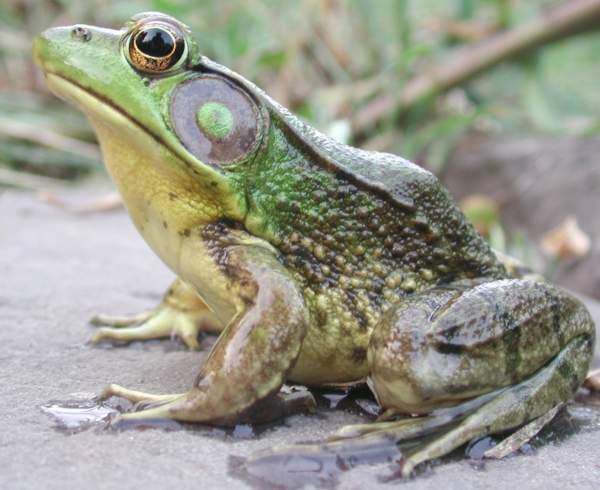 V Frog Kpm Pond Life